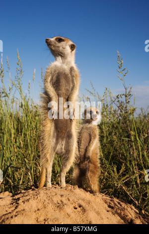 Meerkat (Suricata suricatta) with young, Kalahari Meerkat Project, Van Zylsrus, Northern Cape, South Africa, Africa - Stock Photo