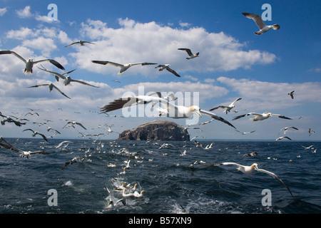 Gannets (Morus bassanus) in flight, following fishing boat off Bass Rock, Firth of Forth, Scotland, United Kingdom, - Stock Photo