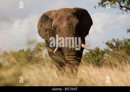 African elephant bull (Loxodonta africana), Kruger National Park, Mpumalanga, South Africa, Africa - Stock Photo