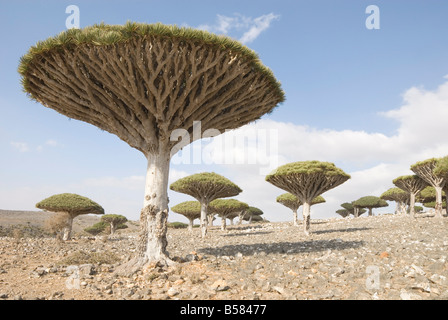 Dragon's Blood Tree (Dracaena cinnabari), endemic to island, Diksam Plateau, central Socotra Island, Yemen, Middle - Stock Photo