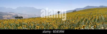 Sunflowers, near Ronda, Andalucia (Andalusia), Spain, Europe - Stock Photo