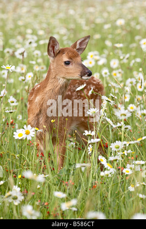 Whitetail deer (Odocoileus virginianus) fawn among oxeye daisy, in captivity, Sandstone, Minnesota, United States - Stock Photo