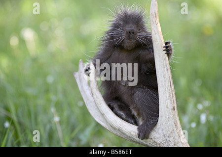 Baby porcupine (Erethizon dorsatum) sitting on a weathered elk antler, in captivity, Bozeman, Montana, United States - Stock Photo