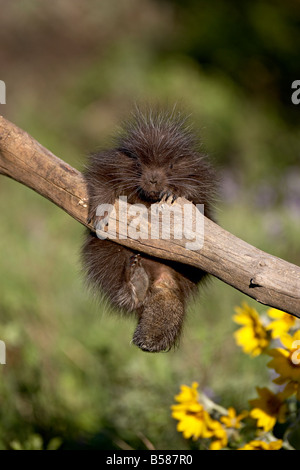 A captive baby porcupine (Erethizon dorsatum), Animals of Montana, Bozeman, Montana, United States of America, North - Stock Photo