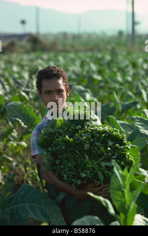 Picking tobacco, Santiago, Dominican Republic, West Indies, Central America - Stock Photo