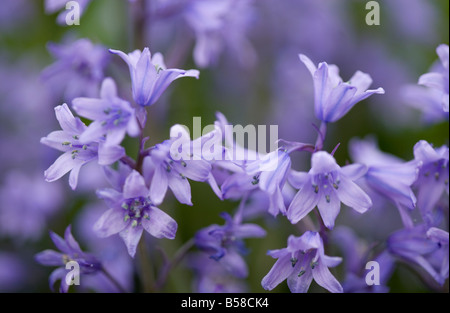 Close-up of Spanish bluebell Hyacinthoides hispanica or Endymion hispanicus hybrid - Stock Photo