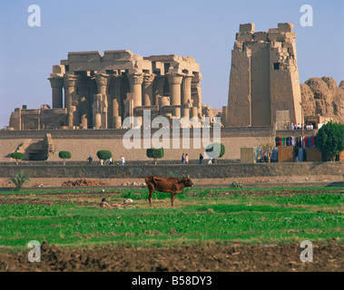 Cow in field in front of the ruins of the temple at Kom Ombo Egypt Africa G R Richardson - Stock Photo