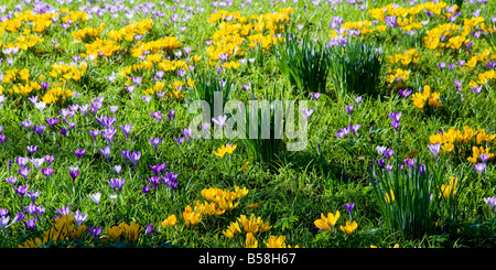 Purple, blue and yellow crocus spring flowers growing in a garden lawn in early springtime, late winter. - Stock Photo