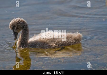A cygnet of the Australian black swan feeding on sea grass in the Swan River Perth Western Australia Cygnus atratus - Stock Photo