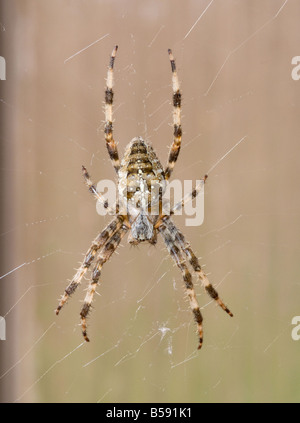 Large Female Common Garden Spider in Her Web in a Cheshire Garden England United Kingdom UK - Stock Photo