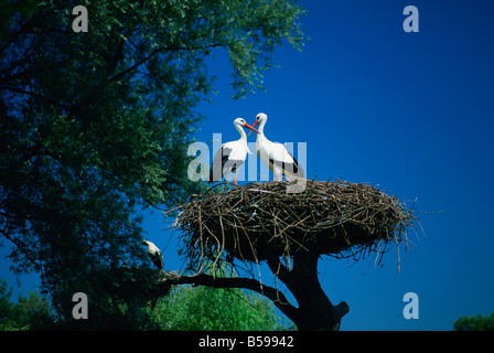 Pair of white storks (ciconia ciconia) on nest, Hunawihr, Haut-Rhin, Alsace, France, Europe - Stock Photo