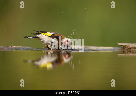 Goldfinch Bathing in forest pool Carduelis carduelis Hungary BI015882 - Stock Photo