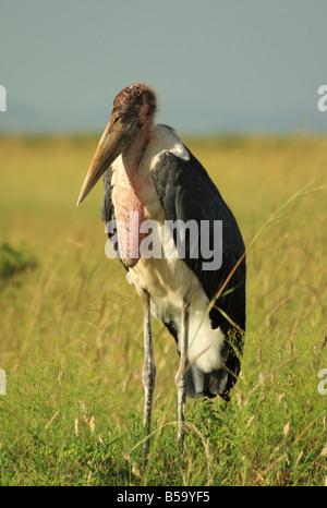 An ugly Marabou Stork in Kenya Africa - Stock Photo
