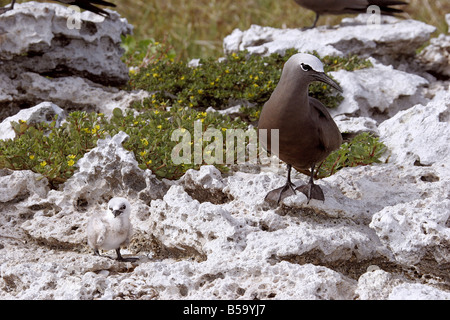 Common Noddy, Brown Noddy (Anous stolidus) standing with its chick on coral rocks - Stock Photo