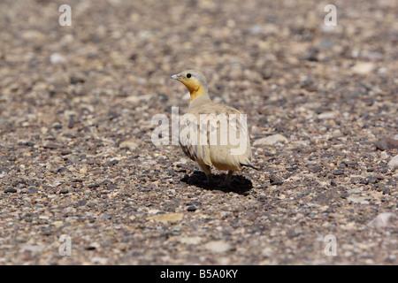 Spotted Sandgrouse, pterocles senegallus, Morocco - Stock Photo