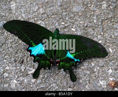paris peacock butterfly in Khao Yai National Park Thailand - Stock Photo