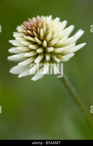 Clover, Wild flowers, Otztal valley, Tyrol, Austria - Stock Photo