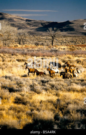 Wild Mustang herd running, high desert. - Stock Photo