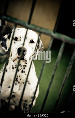 Dog in animal shelter. Dalmatian. - Stock Photo