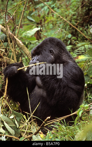 Charles, the silverback of the Umubano mountain gorilla group, munches on foliage in Rwanda's National Volcano Park - Stock Photo