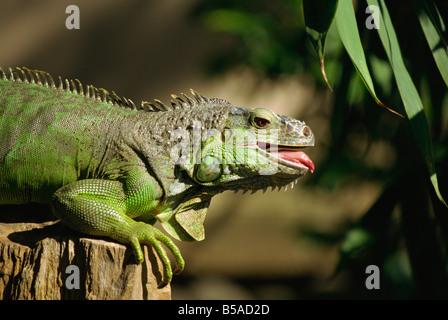 Green iguana Bali Indonesia Southeast Asia Asia - Stock Photo