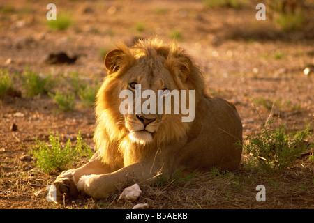 Male lion Samburu National Reserve Kenya East Africa Africa - Stock Photo