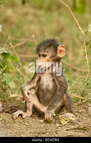 Infant olive baboon (Papio cynocephalus anubis), Lake Nakuru National Park, Kenya, East Africa, Africa - Stock Photo