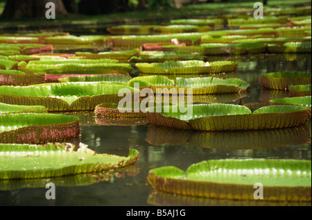Giant water lilies, Botanical Gardens, Pamplemousses, Mauritius, Africa - Stock Photo