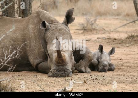 Female White Rhino with week old calf, Hlane Royal National Park, Swaziland, Africa - Stock Photo