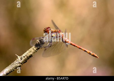 common darter Sympetrum striolatum male dragonfly - Stock Photo