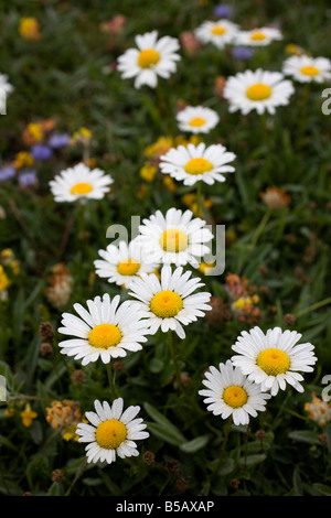oxeye daisies Leucanthemum vulgare with kidney vetch - Stock Photo