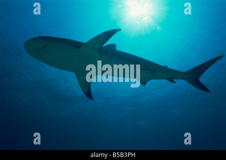 Caribbean reef shark (Carcharhinus perezi), Bahamas, West Indies, Atlantic Ocean, Central America - Stock Photo