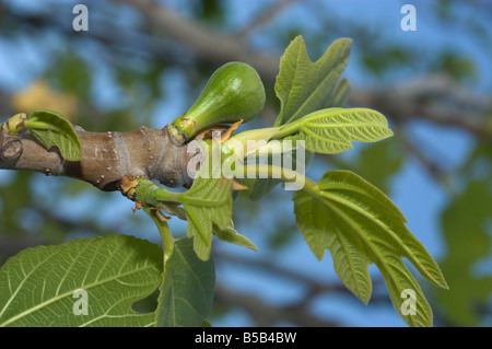 Green figs 'Ficus Carica' on a tree - Stock Photo