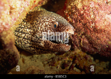Spotted moray eel (Gymnothorax moringa) feeds in the open during the night, Tobago, West Indies, Caribbean, Central - Stock Photo