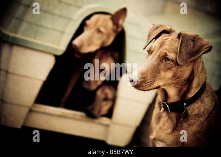 Four dogs from a rescue center, three of them are together in a small house and are looking out. - Stock Photo