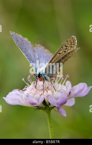 chalkhill blue butterfly Cupido minimus on flower - Stock Photo