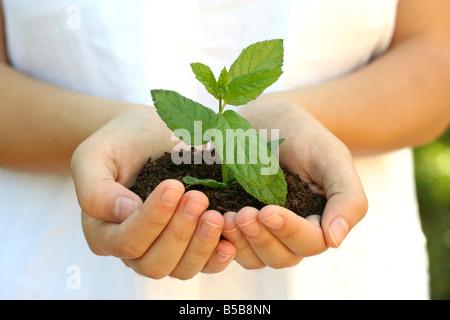 Peppermint Mentha sp - Stock Photo
