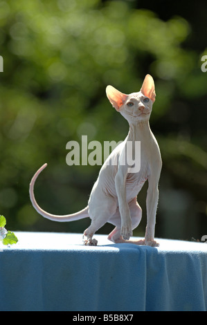 Domestic Cat (Felis catus, Felis silvestris) breed: Don Sphynx, Don Hairless. Adult on a blue blanket - Stock Photo