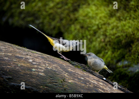 grey wagtails Motacilla cinerea on log male - Stock Photo