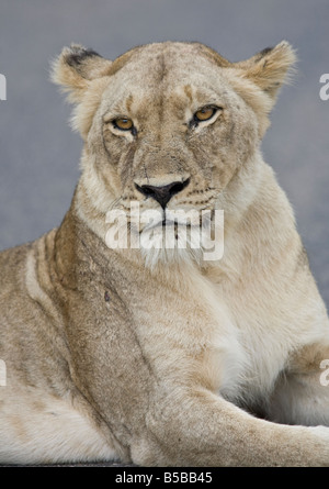 African Lion (Panthera leo) lioness looking into camera Kruger National Park South Africa - Stock Photo