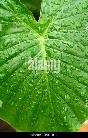 Droplets on leaf. Colocasia sp - Stock Photo