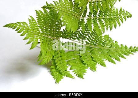 Fern on white background - Stock Photo