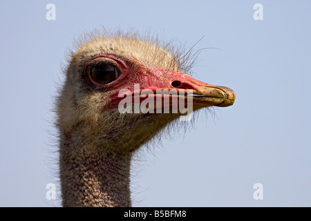 Common ostrich (Struthio camelus), Addo Elephant National Park, South Africa, Africa - Stock Photo