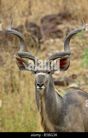 Male greater kudu (Tragelaphus strepsiceros), Kruger National Park, South Africa, Africa - Stock Photo