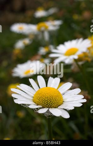 oxeye daisies Leucanthemum vulgare - Stock Photo