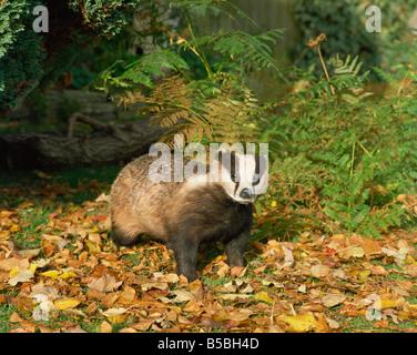 Badger Meles Meles United Kingdom Europe - Stock Photo