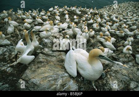 Gannets on nests, Bass Rock, East Lothian, Scotland, Europe - Stock Photo
