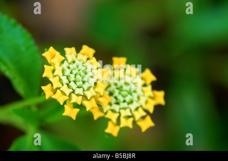 Close up shoot of yellow lantana camara flowers - Stock Photo