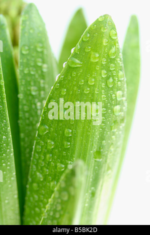 Droplets in Hyacinth leaves. Hyacinthus hybr - Stock Photo