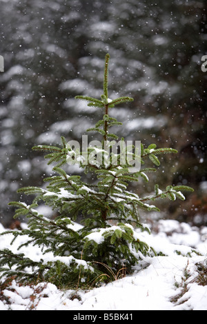 snow falling on young sapling evergreen conifer pine trees in a forest in county antrim northern ireland uk - Stock Photo
